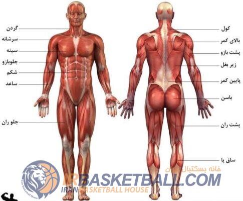 عضلات اصلی که در ورزش بسکتبال استفاده می شوند